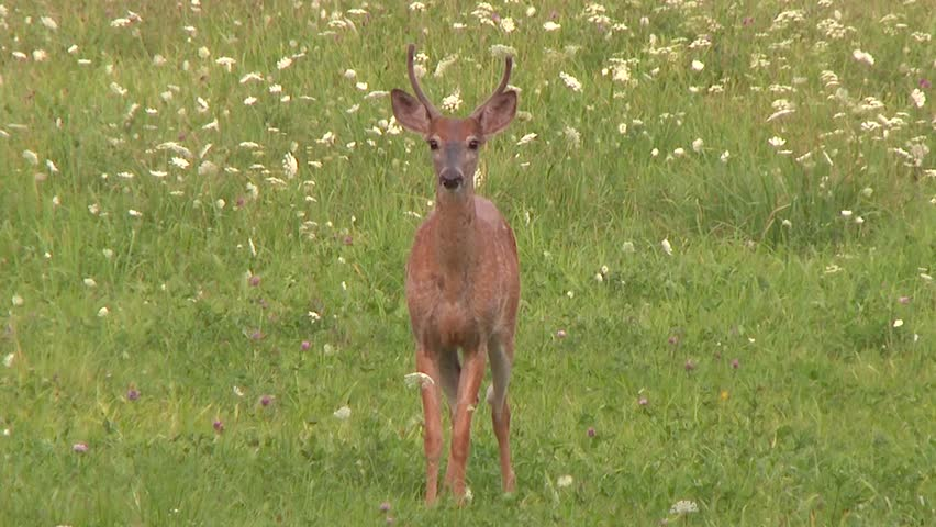 Spooked off deer jumping and running away in field with flowers