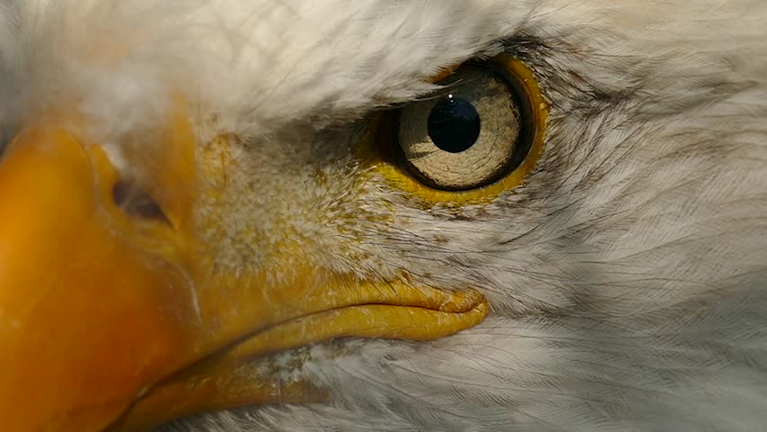 Extreme closeup of American Eagle's face turning from left to right