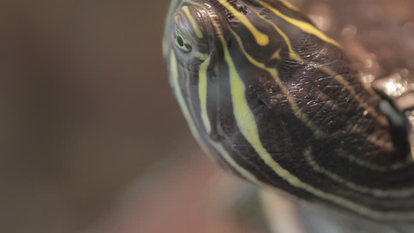 Macro shot of a small turtle moving his head | Shutterstock HD Video #1012556510