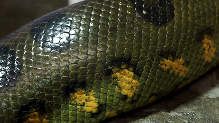 Detail of a large anaconda snake (Eunectes murinus) skin from alive body