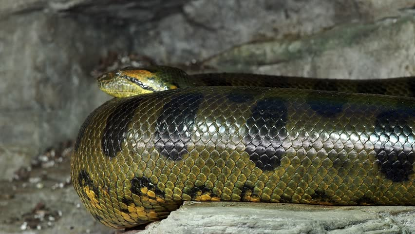 Green anaconda (Eunectes murinus). Big anaconda.