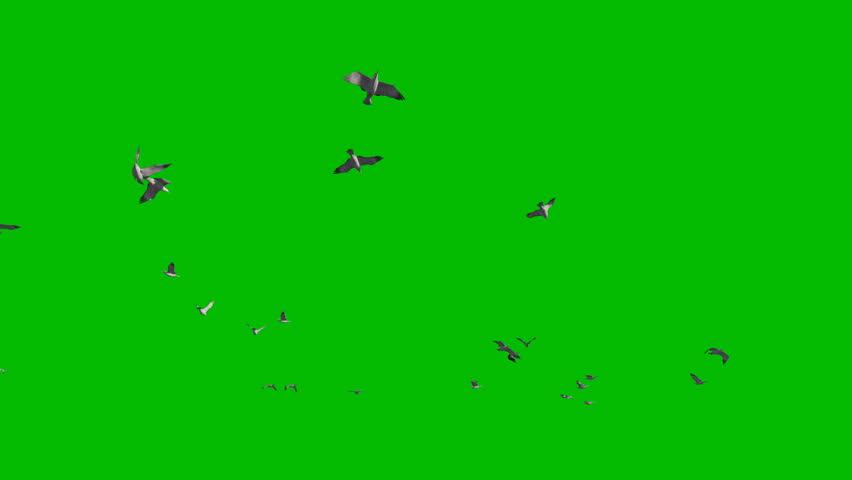 Seagulls flying against Green Screen, 4K
