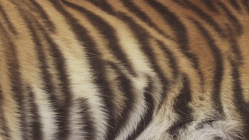 Bengal tiger stripes | Shutterstock HD Video #1012713500