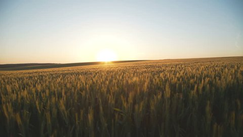 ears of wheat swaying in the breeze at sunset