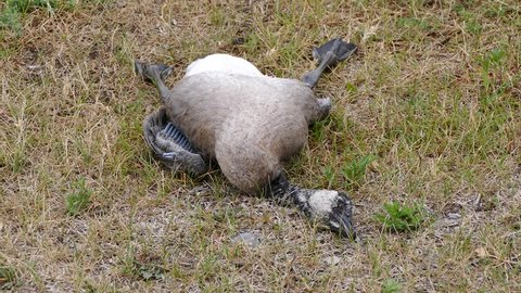 Dead Canada goose lying on the grass