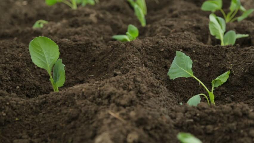 Cabbage saplings in garden fresh beds #1012772003