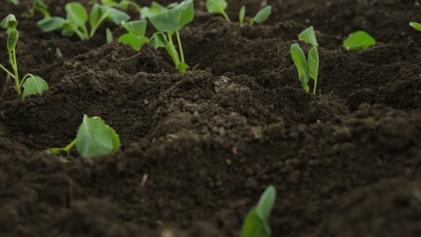 Cabbage saplings in garden fresh beds #1012772006