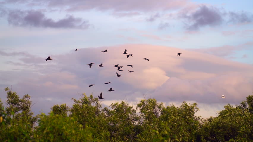 Slow motion of flying birds. Colony of Cormorants in mangrove forest. Cormorants flying over mangrove tree with beautiful sky, Unseen in Thailand. Animal wildlife concept.
