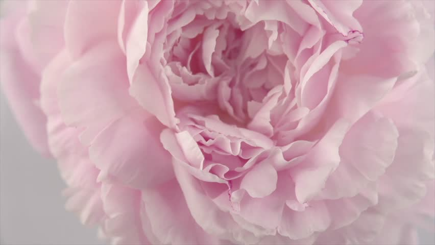 Beautiful pink Peony background. Blooming peony flower petals center rotation, close-up. Wedding backdrop, Valentine's Day concept. Beauty spring romantic rose flower rotated 4K UHD video   Shutterstock HD Video #1012779524