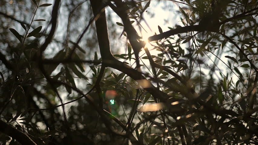 Close up view of green Olive branch tree with rays of sun in the background #1012871864