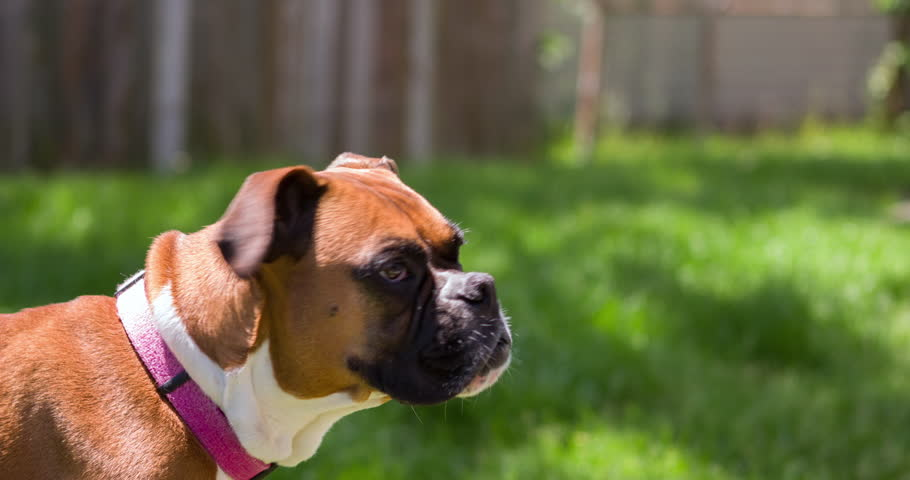 Boxer dog standing in yard of green grass 4k #10130195