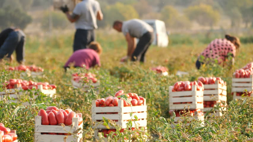Rossano, Italy, August 20 2017 :Tomatoes Harvesting in Summer- South of Italy,