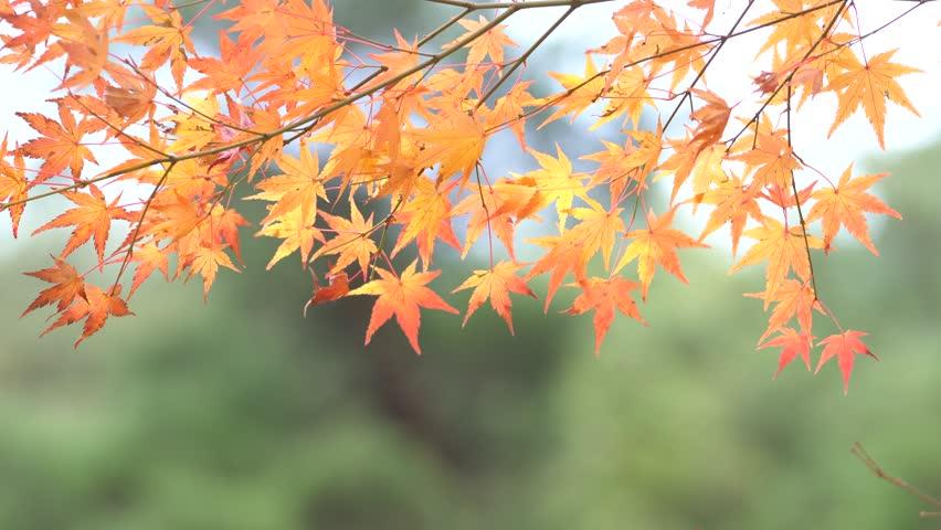 Autumn Foliage Colorful Japanese Maple Tree Leaves Acer Palmatum