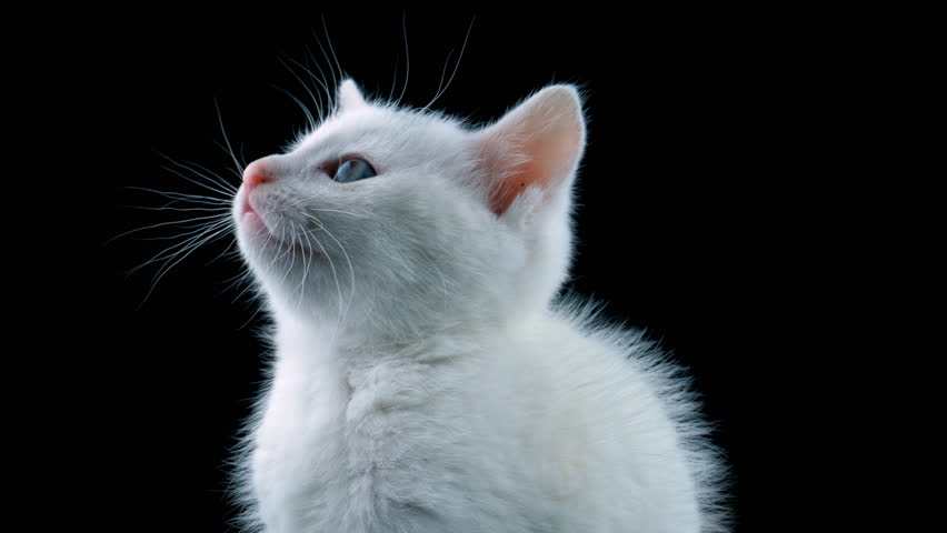 White cat, close-up view, looking around, meows, isolated on black background, ProRes source codec | Shutterstock HD Video #1013183528