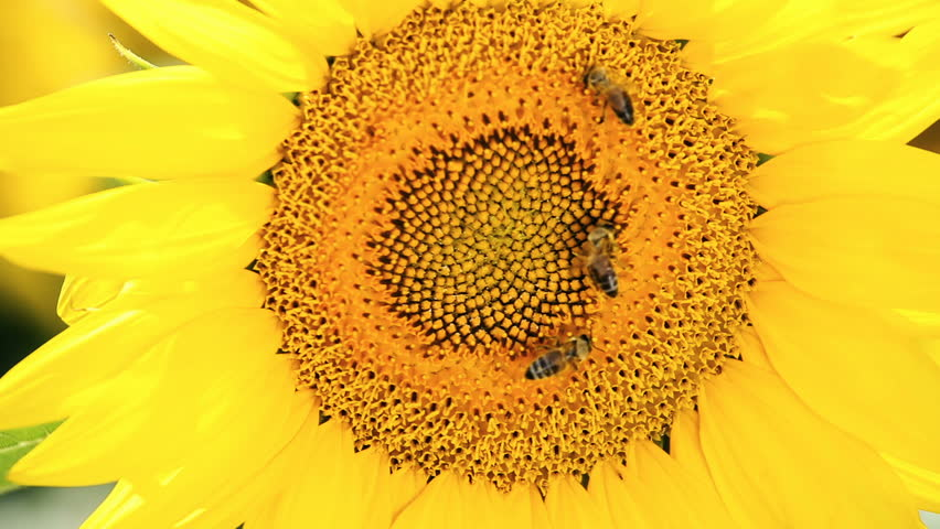 Sunflower and bees gathering the pollen on flower head | Shutterstock HD Video #1013266055