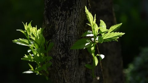 Sunshine fading Shadow with young leaves moments in the tree
