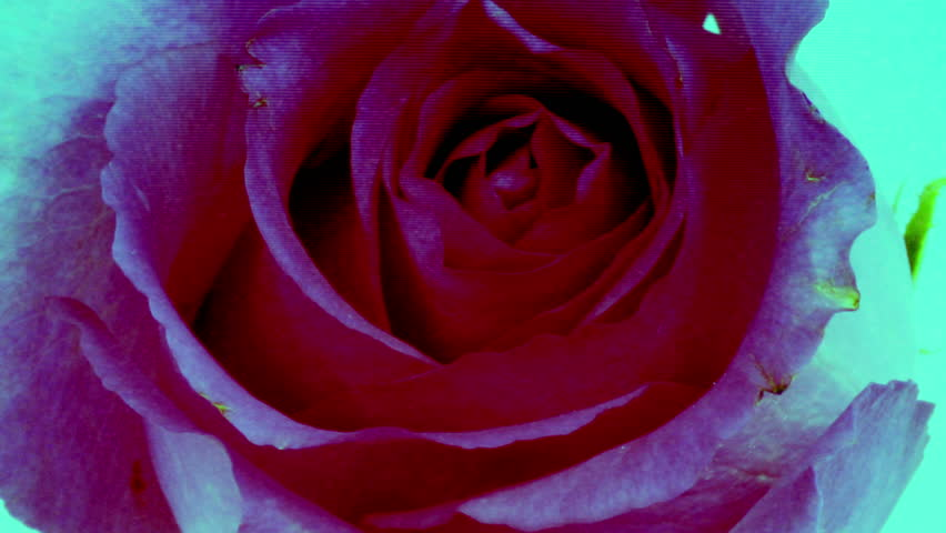 timelapse of a rose opening with overlayed video distortion