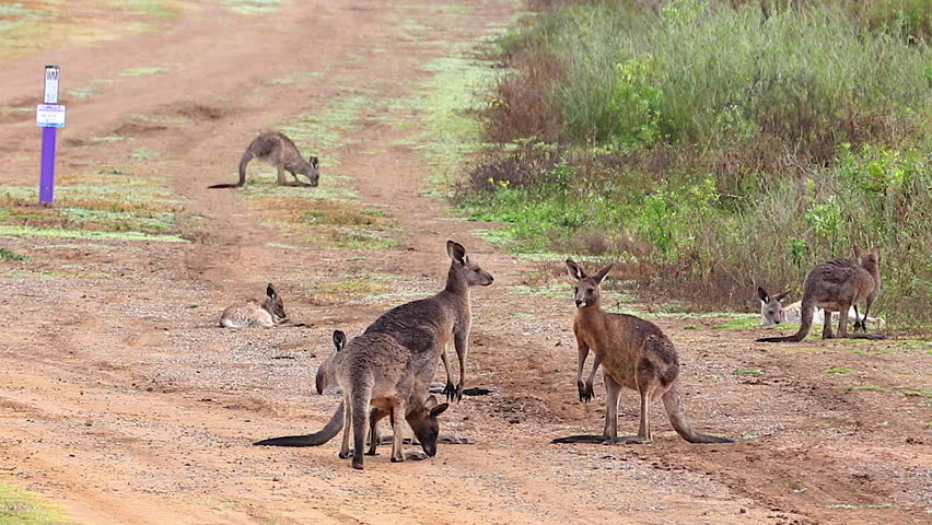 AUSTRALIA - CIRCA 2017 - Kangaroos engage in a boxing match fighting along a dirt road in Australia.