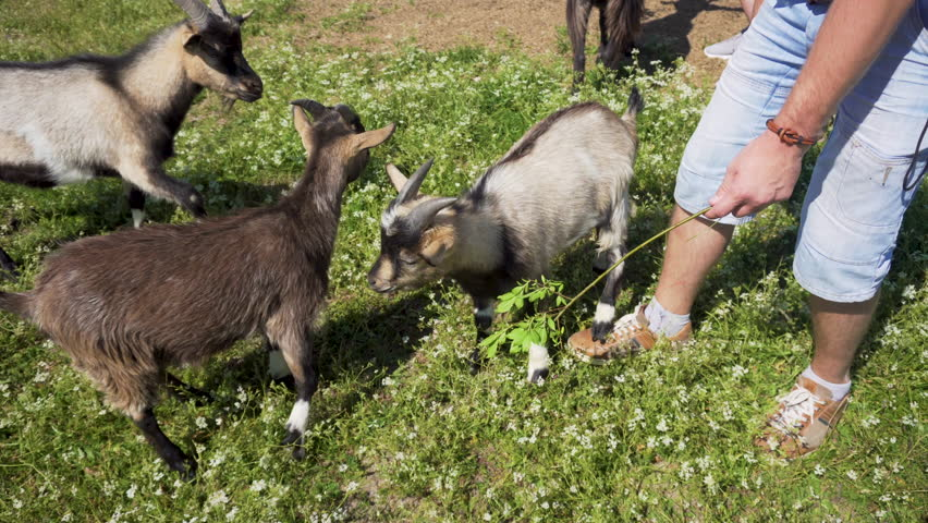 Adventurer feeding goat with leaves from stick.