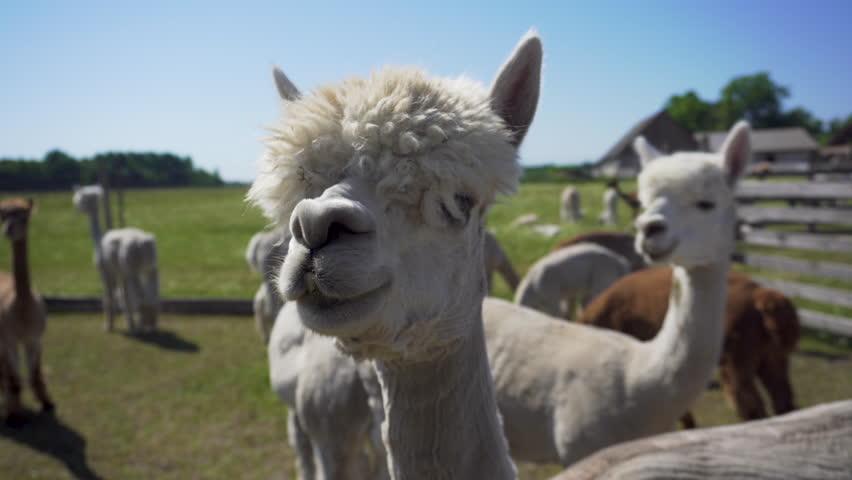 Sniffing alpacas. Close up.