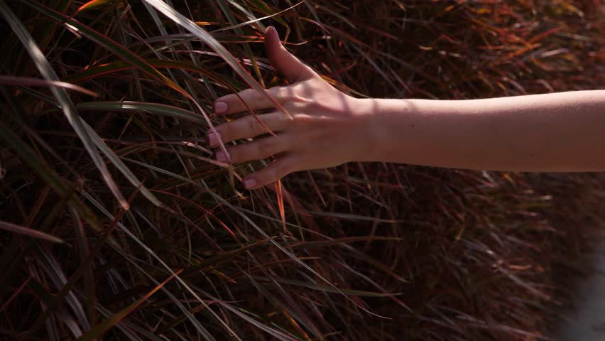 Woman hand gently touch blades of grassy hedge, lady walk along natural fence, POV camera follow arm. Brown reddish soft long leaves at vertical grown plants