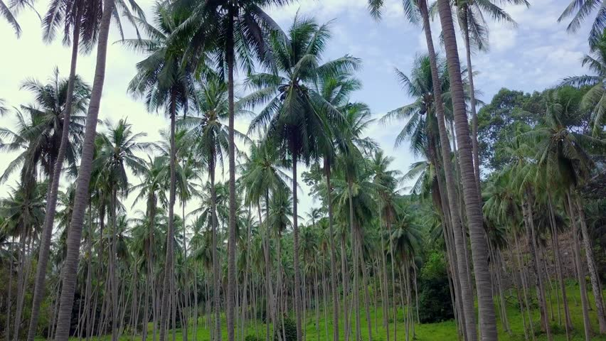 Flying Through Coconut Palm Tree Grove in Thailand