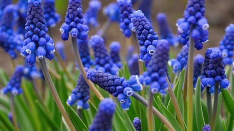 Close-up of a flower Muscari first blue spring flower