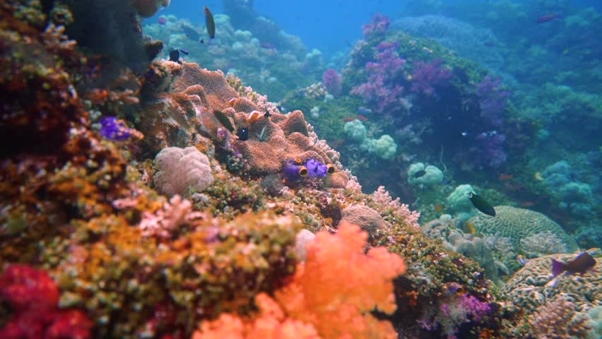 Camera flying through a colorful healthy coral reef with a lot of reef fish. Camera also passes an anemone with some guarding clown fish. This is shot in Misool, Indonesia, one of the last paradises. Royalty-Free Stock Footage #1013513135