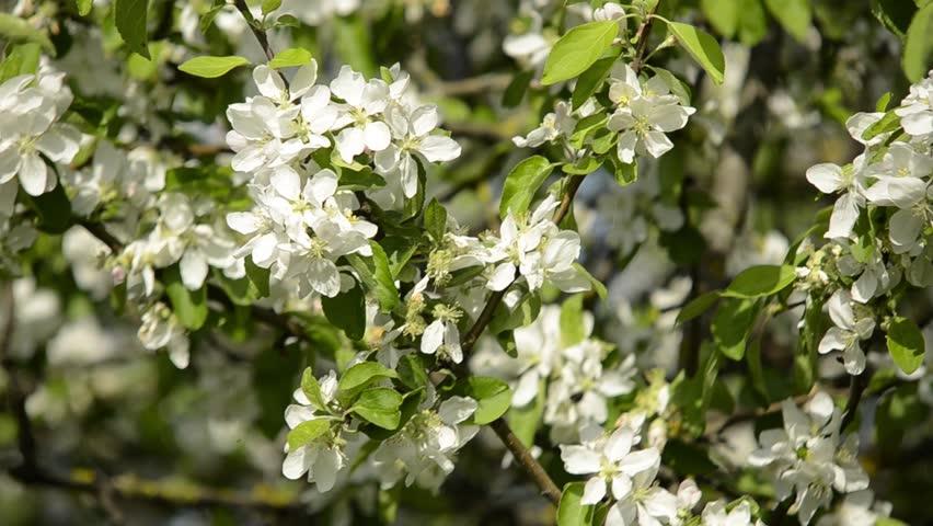 Apple Trees Flowers White Apple Stock Footage Video 100