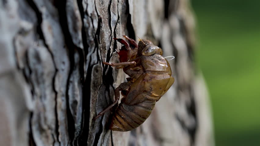 Panoramic view of a discarded cicada shell left behind after the metamorphosis process. Brown hard exoskeleton shell of a cicada nymph hanging from the bark of a tree stump.  | Shutterstock HD Video #1013588789