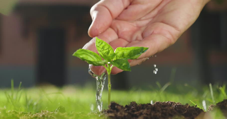 A hand of a peasant man watering a freshly planted shoot to give life to a new plant.    Shutterstock HD Video #1013593325