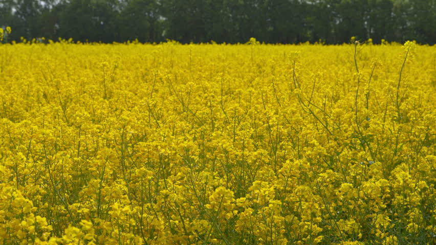 Beautiful Canola Field on a Sunny Day - Dolly Shot | Shutterstock HD Video #10136099