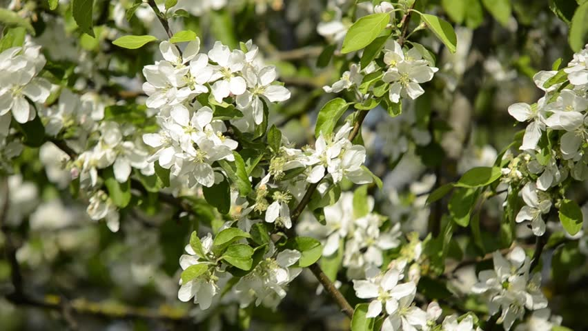 Apple Trees Flowers White Apple Stock Footage Video 100 Royalty