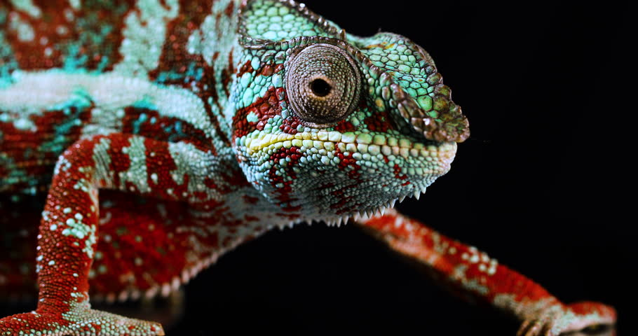 Close up shot of a green and red Panther Chameleon on a black background moving its eyes and head in real-time motions | Shutterstock HD Video #1013657114