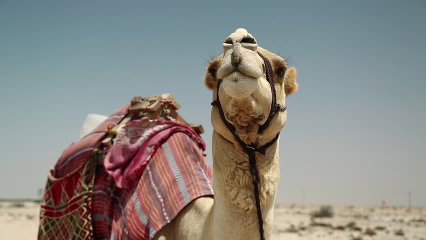 Camel in desert in Qatar, Persian Gulf, Arabian Peninsula, Middle East