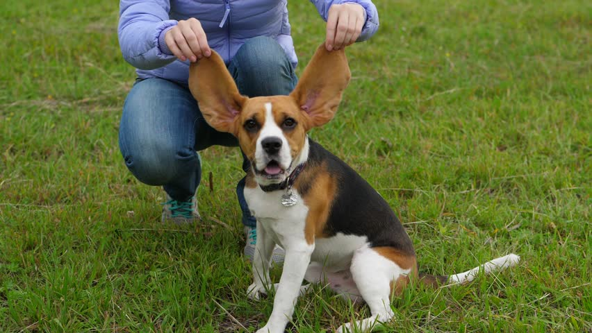Woman hold up long Beagle ears, funny portrait of young curious dog, pet looking straight to camera then rise muzzle up and howl, run towards, slow motion shot   Shutterstock HD Video #1013753057