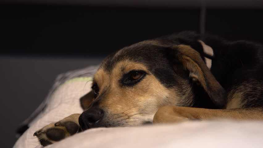 Black and brown dog laying on bed looking around inquisitively. | Shutterstock HD Video #1013796443
