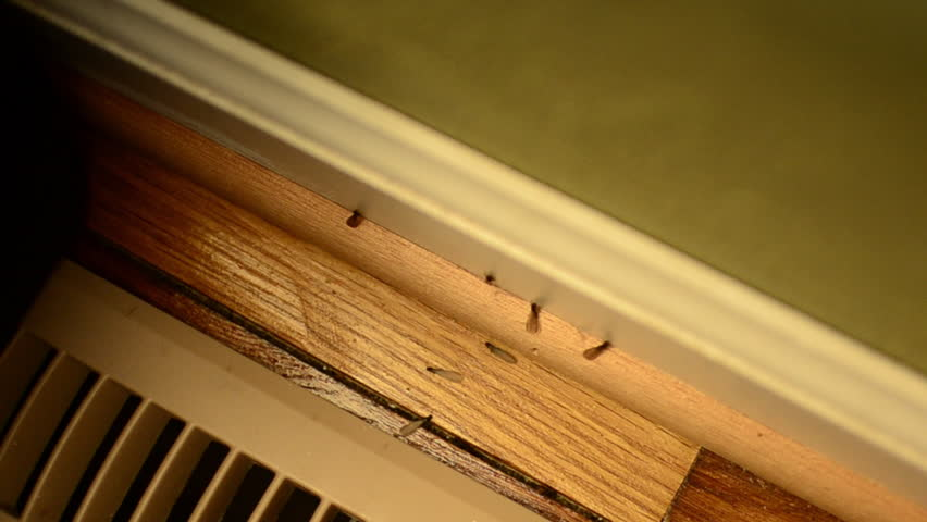 Winged termites beginning to swarm from under air condition register inside home Royalty-Free Stock Footage #1013814686
