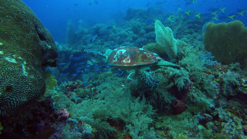 Following turtle swimming over reef in Raja Ampat.   Shutterstock HD Video #1013845220