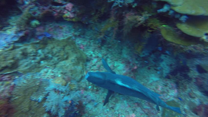 Bumphead wrasse feeding on the reef in Raja Ampat. | Shutterstock HD Video #1013845229