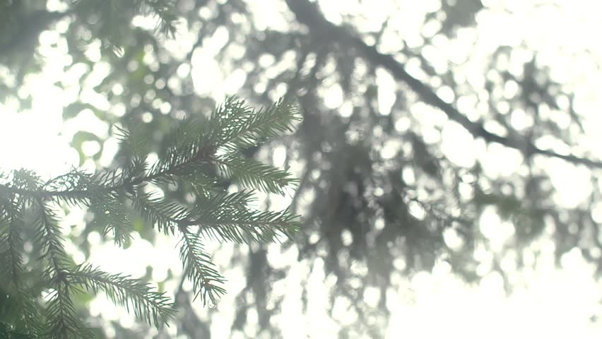 Branch of a coniferous tree with drops of rain. Pan shot.