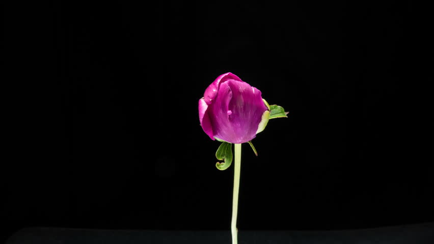 Timelapse of pink peony flower blooming on black background | Shutterstock HD Video #1013913602