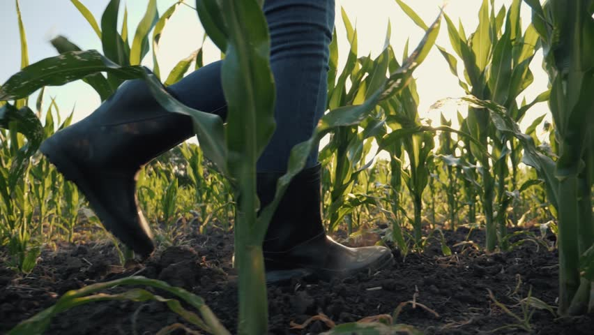 Agriculture. Farmer in rubber boots walks through a cornfield. Farmer's feet in rubber boots in corn. Agriculture concept. Farmer in rubber boots in a corn field. Agricultural business corn Royalty-Free Stock Footage #1013933441