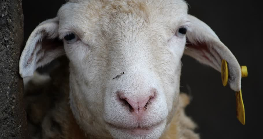 Close up Sheep's face. | Shutterstock HD Video #1014011003