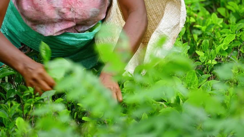 Local ethnic woman picking tea leaves on plantation in Sri Lanka | Shutterstock HD Video #1014050549