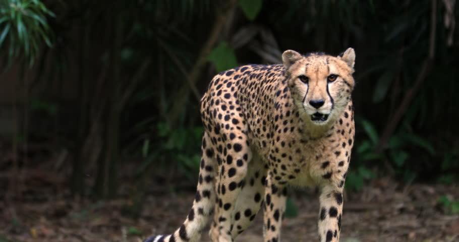 Cheetah creeping toward camera slow motion vodeo. Big leopard portrait