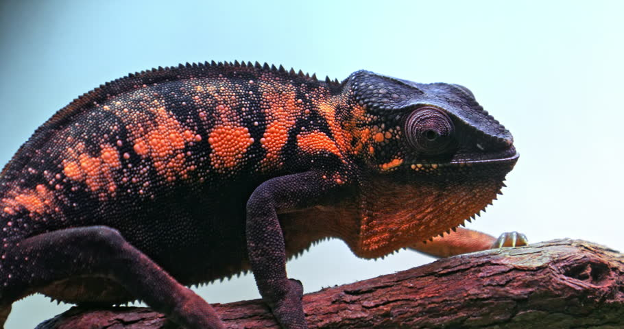 Panther Chameleon with vivid black and orange strips of camouflage skin close-up portrait view 4k video