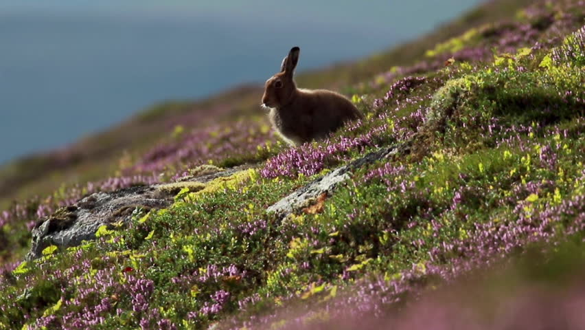Mountain hare, Lepus timidus, amongst ling purple heather on a mountain slope in cairngorms NP, scotland during july.