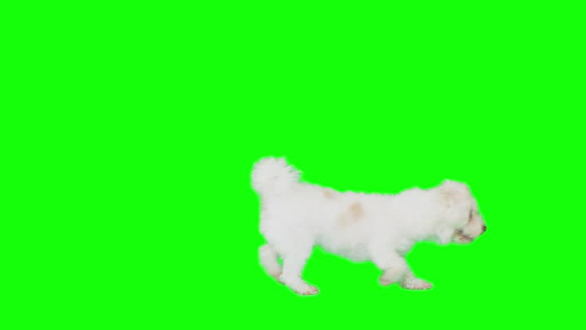 Dog on green screen walks right and left exiting frame.Shot slow motion.