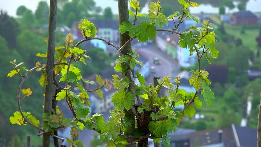 Vineyard in spring, Saarburg, Saar Valley, Rhineland-Palatinate, Germany, Europe | Shutterstock HD Video #1014105617
